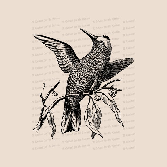 Victorian antique bird hummer. Hummingbird clipart vintage