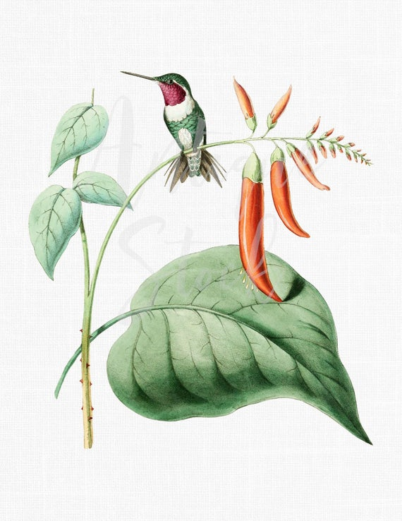 Hummingbird clipart vintage. Botanical illustration acestura mulsanti