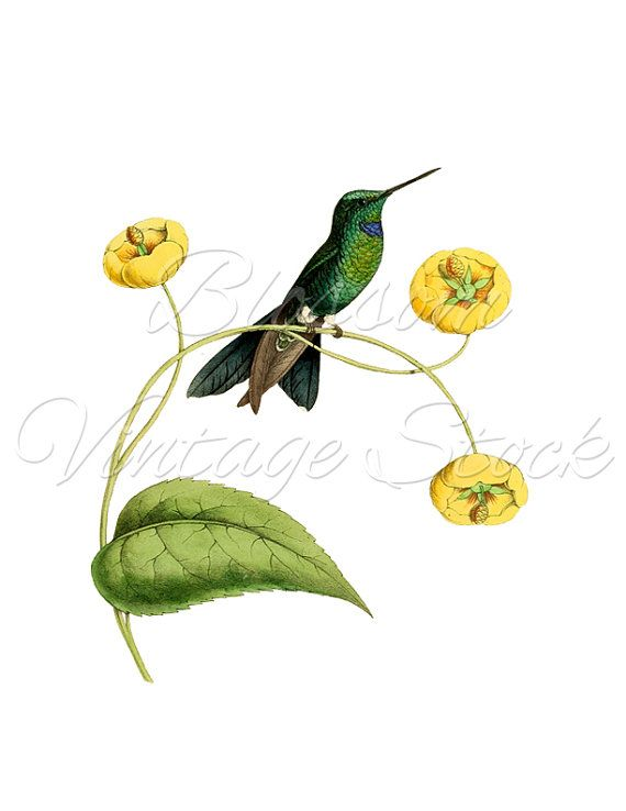 Bird digital image antique. Hummingbird clipart vintage
