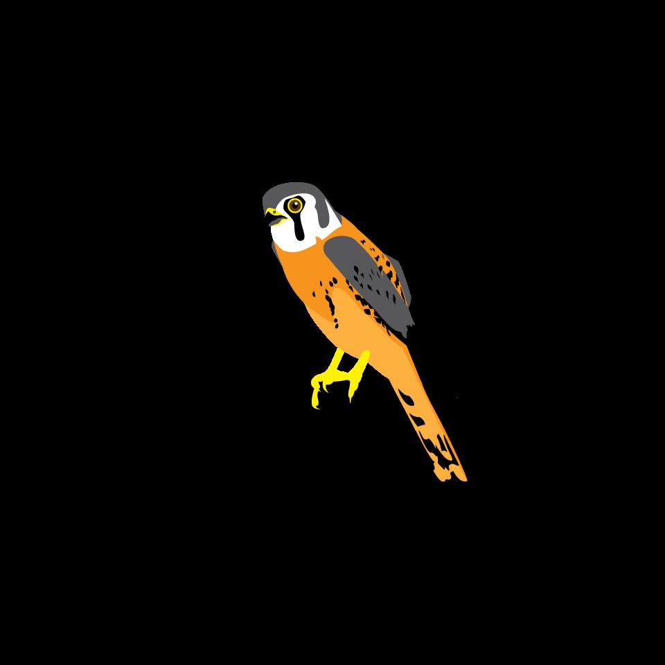 Hummingbird clipart xantus. Bird type coloveration