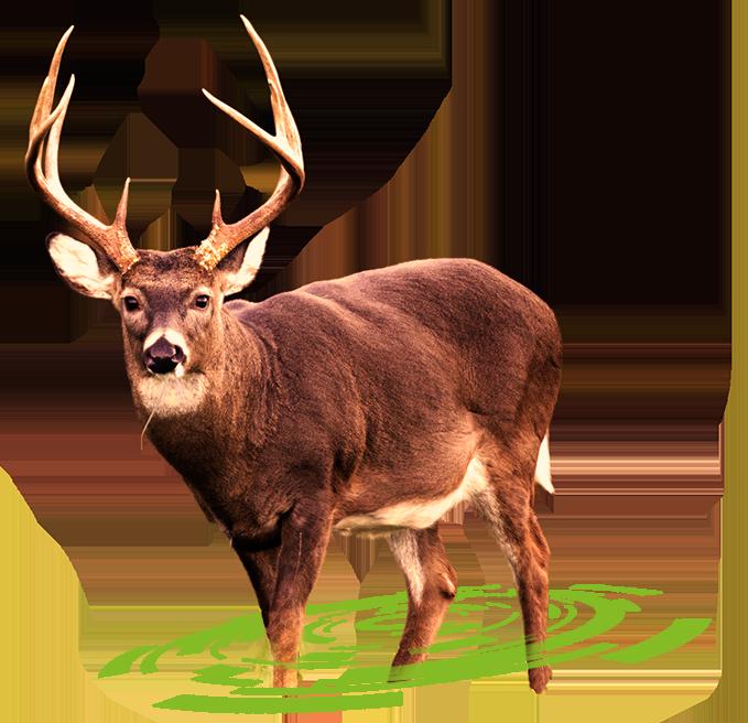 Hunting clipart big buck. Deer png transparent images