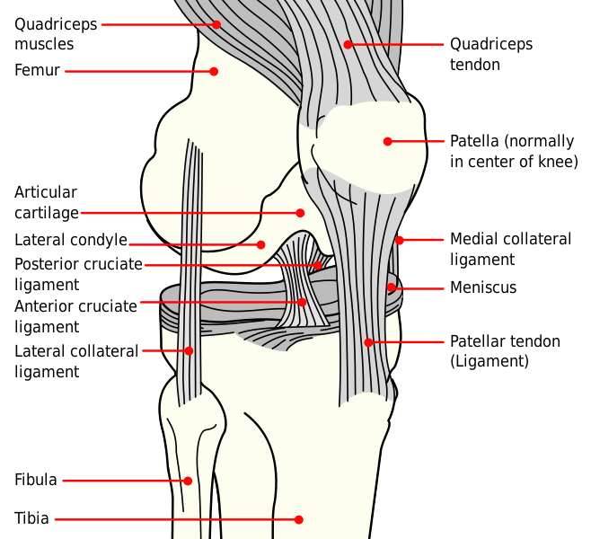 Hurt clipart knee cap. Dorable anatomy of the