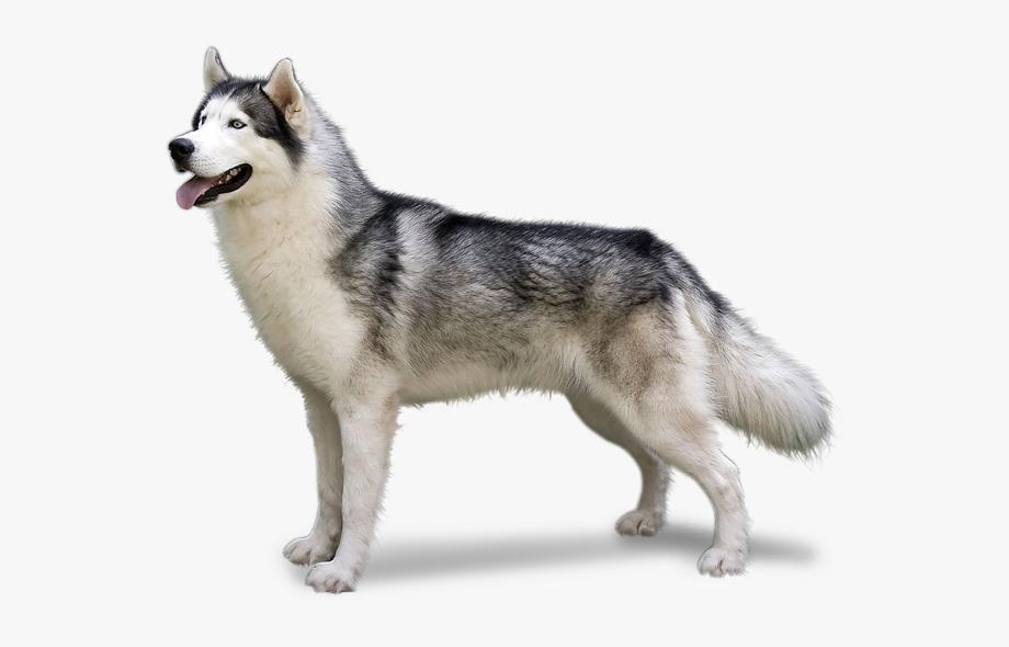 Husky clipart alaskan husky. Malamute dog portraits