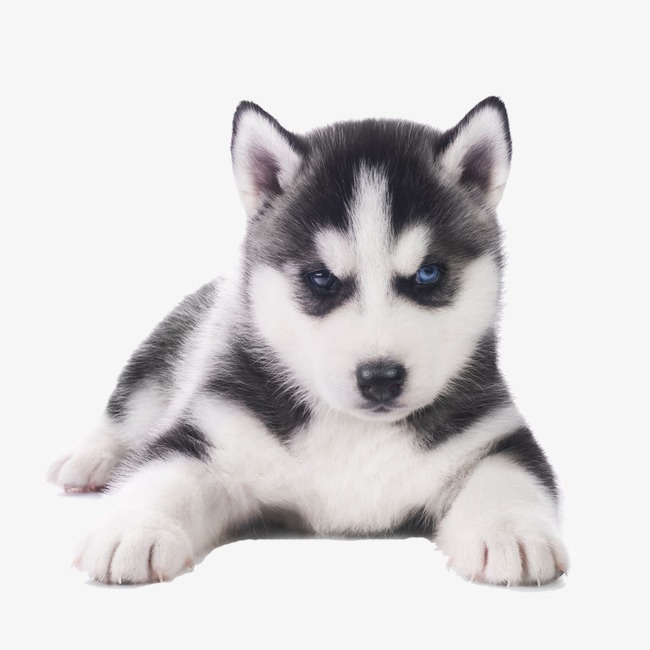 Husky clipart real puppy. Download free png adorable