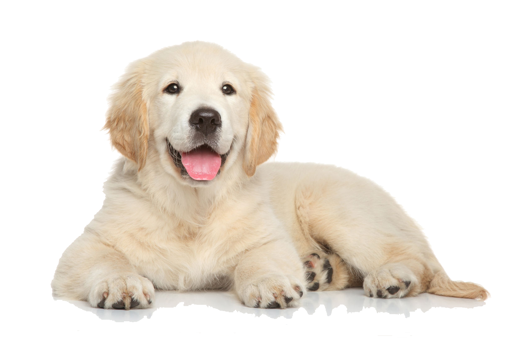 Husky clipart real puppy. Png images transparent free