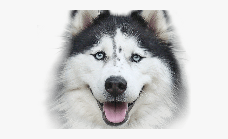 Nike siberian front face. Husky clipart real puppy