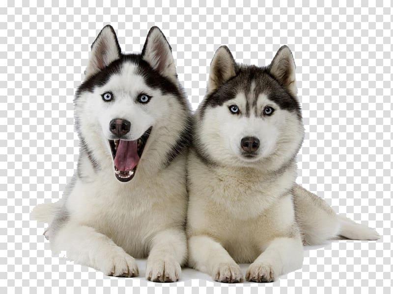 Husky clipart siberian husky. Two adult huskies laying