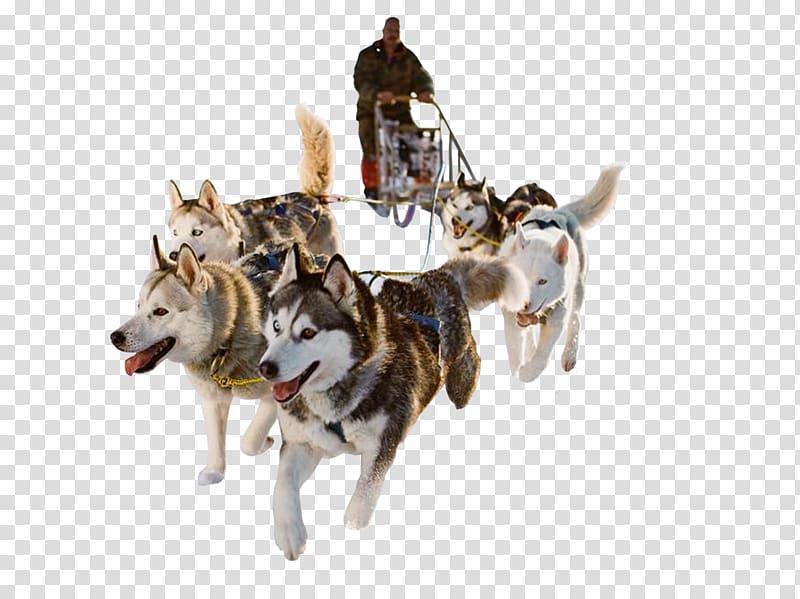 Husky clipart snow dog. Siberian sled mushing dogs