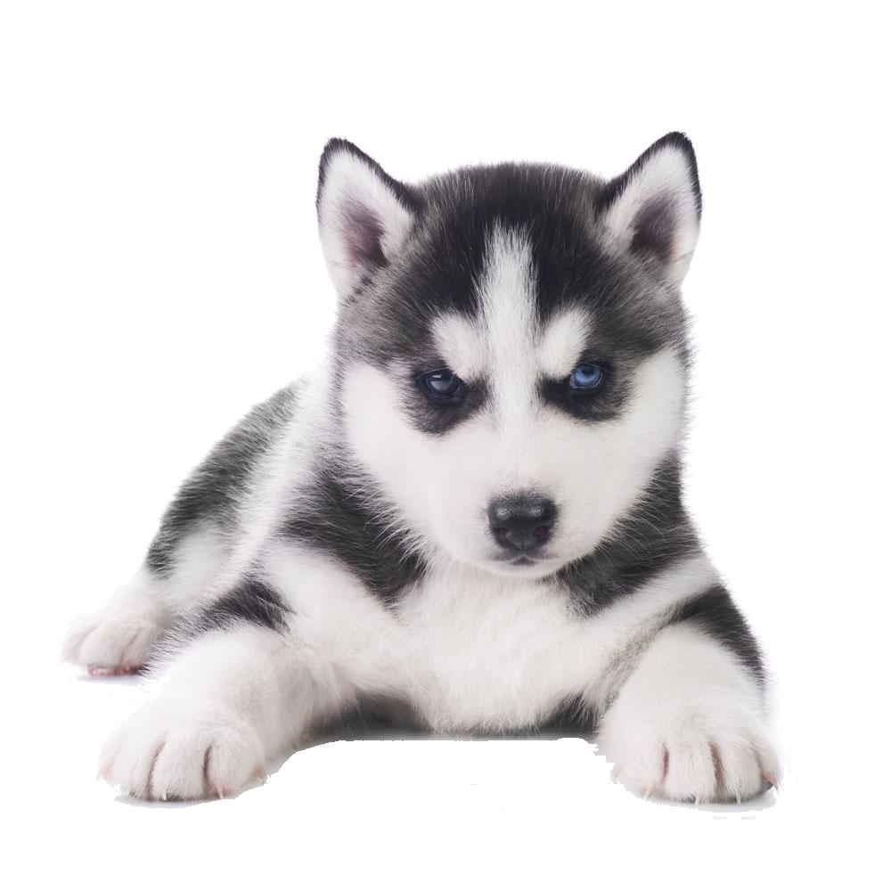 Png images free download. Husky clipart transparent background