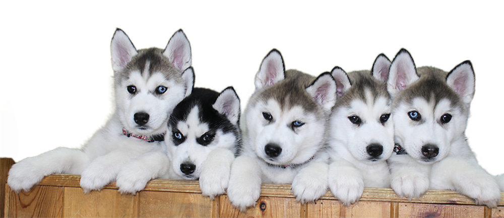 Husky clipart transparent background. Download siberian puppy png