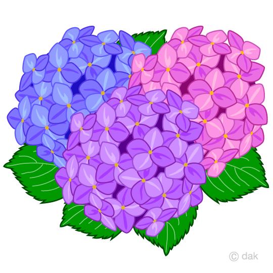 Hydrangea clipart. Free colorful clip art
