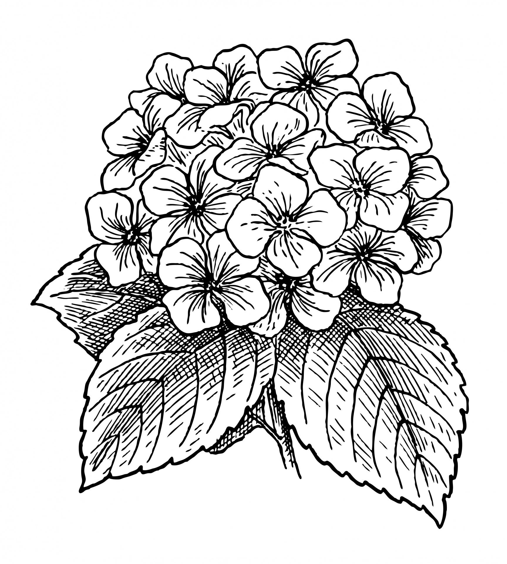 Flowers free stock photo. Hydrangea clipart