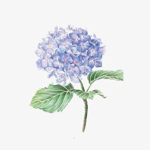 Hydrangea clipart. Purple flower png image