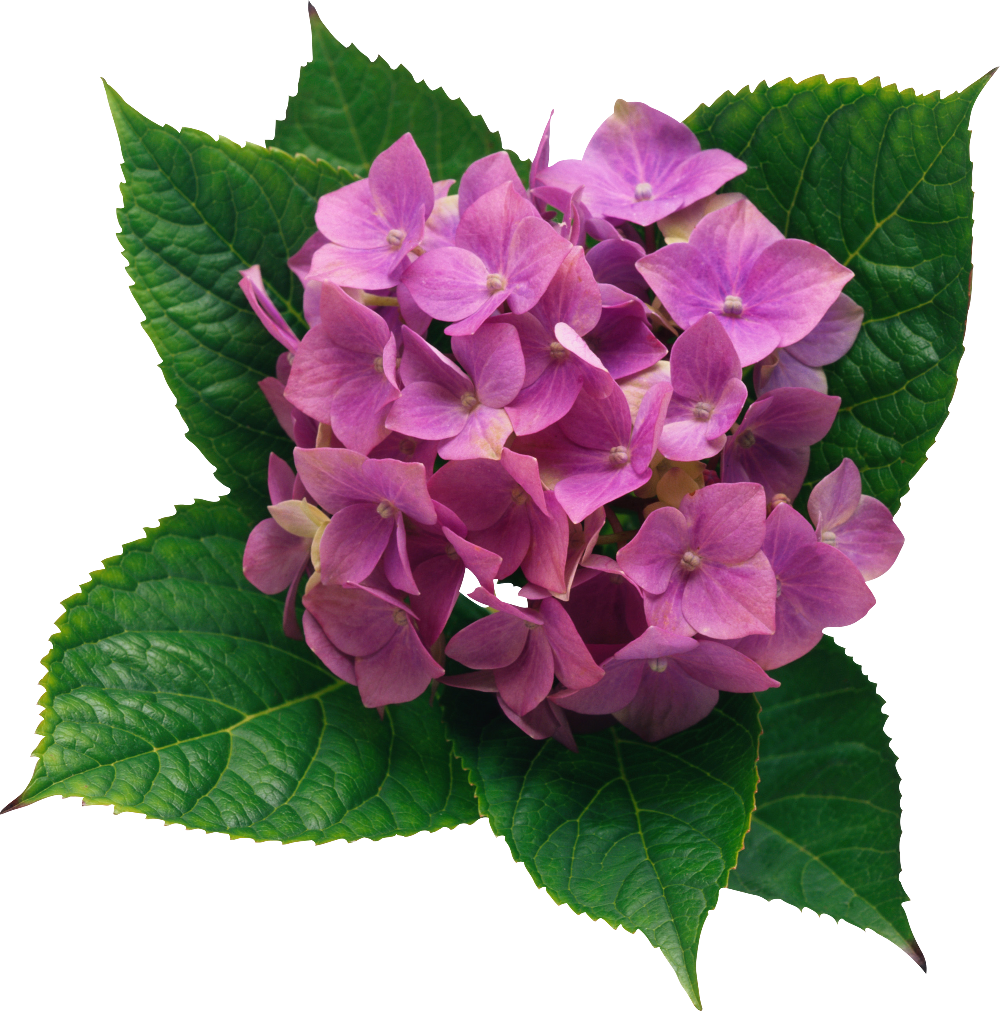 Png picture gallery yopriceville. Hydrangea clipart