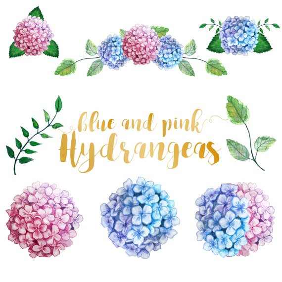 Watercolor hydranges clip art. Hydrangea clipart high resolution
