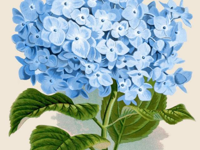 Hydrangea clipart high resolution. Free download clip art