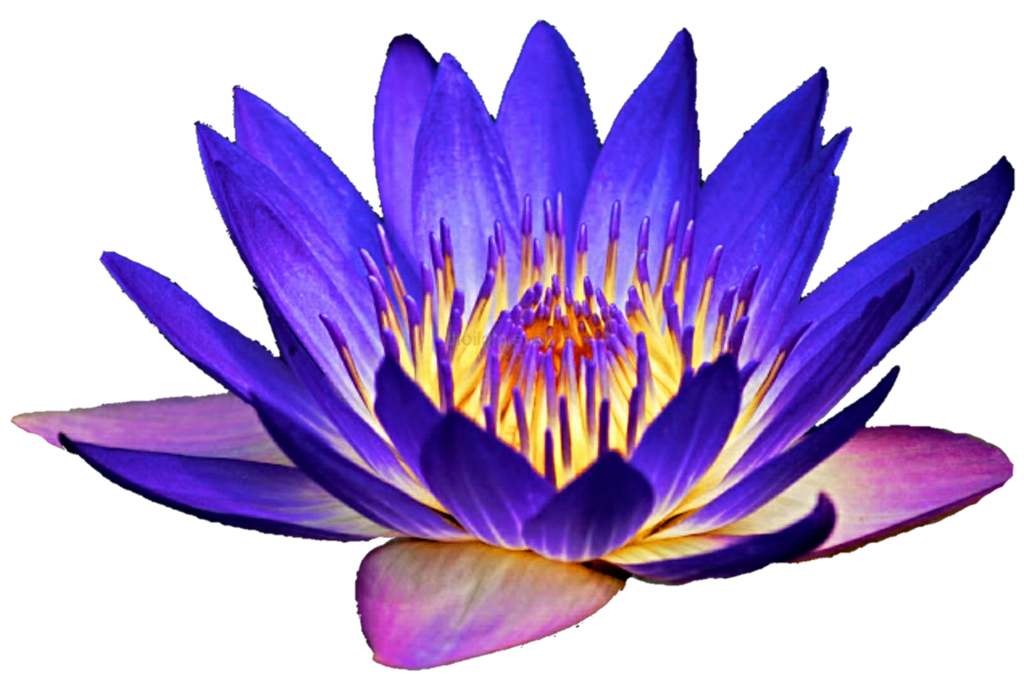 Night light water lily. Lotus clipart waterlily