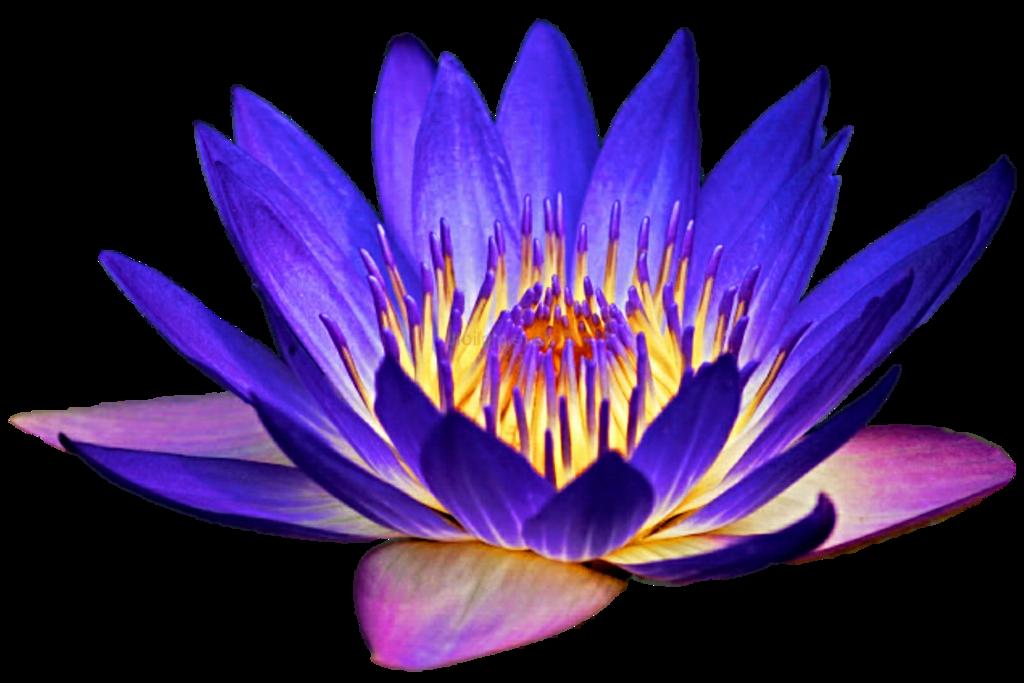 Idea clipart night light. Water lily by jeanicebartzen