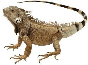 Clip art of an. Iguana clipart