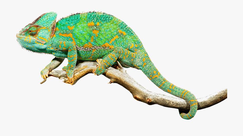 Iguana clipart chameleon. Reptile lizard chameleons common