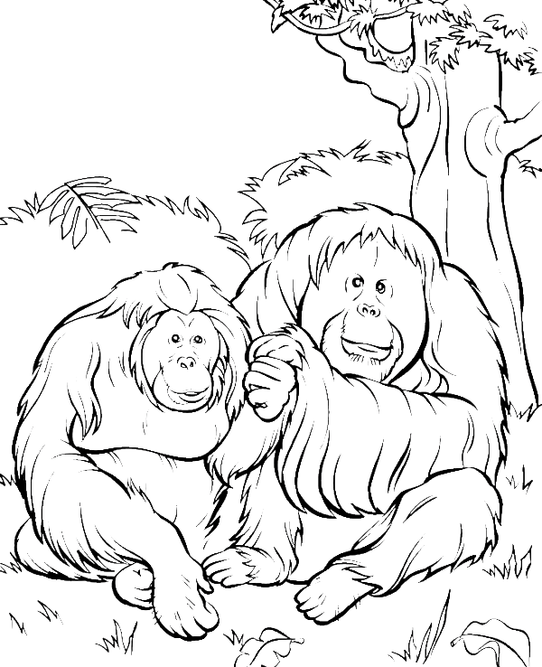 Two orangutans in the. Ox clipart colouring page