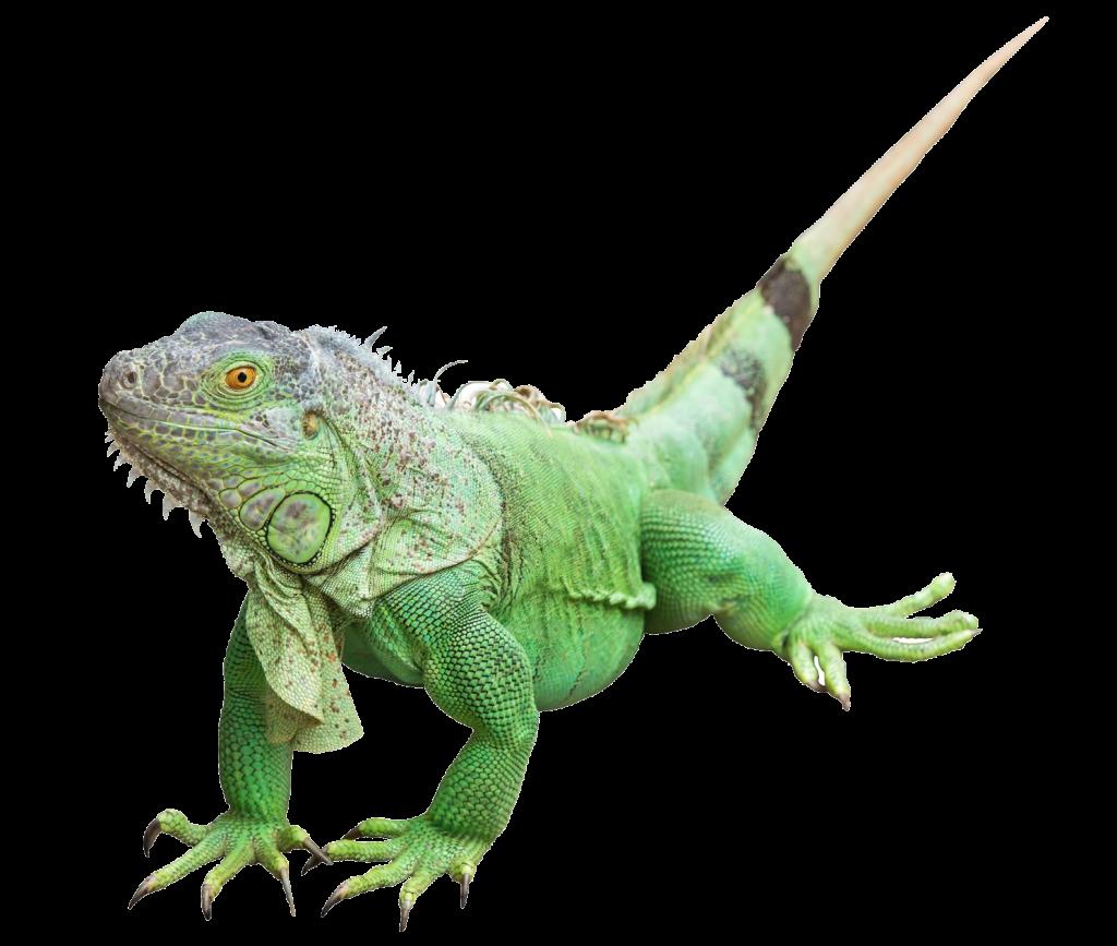 Iguana clipart desert iguana. Reptile common iguanas lizard