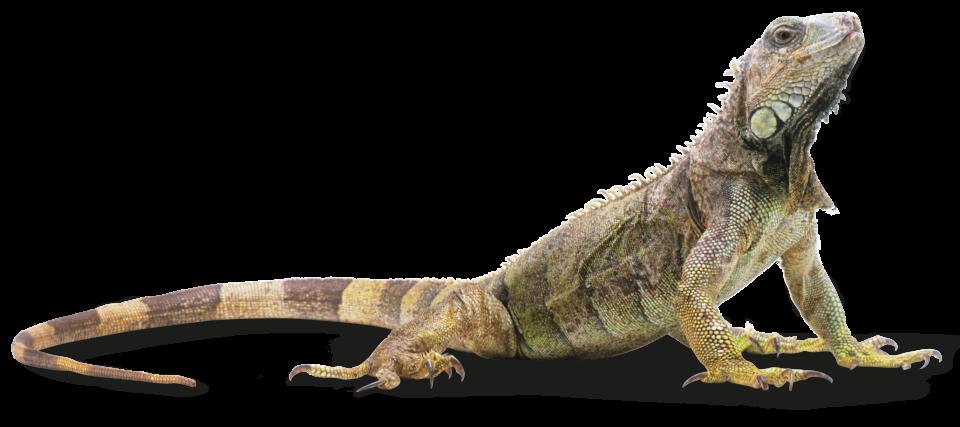 Png transparent images pluspng. Iguana clipart downloadable