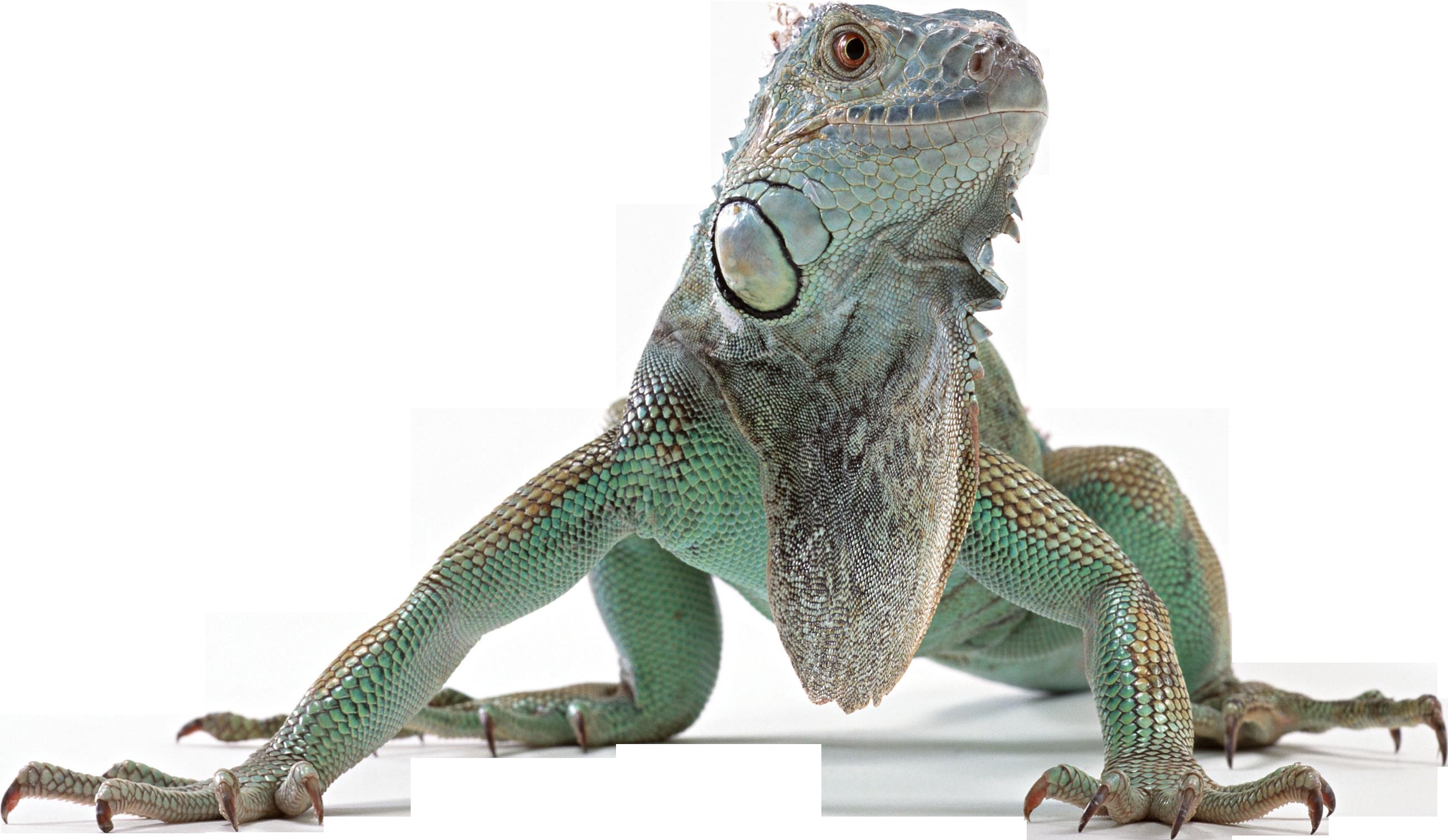 Lizard clipart iguana. Png web icons