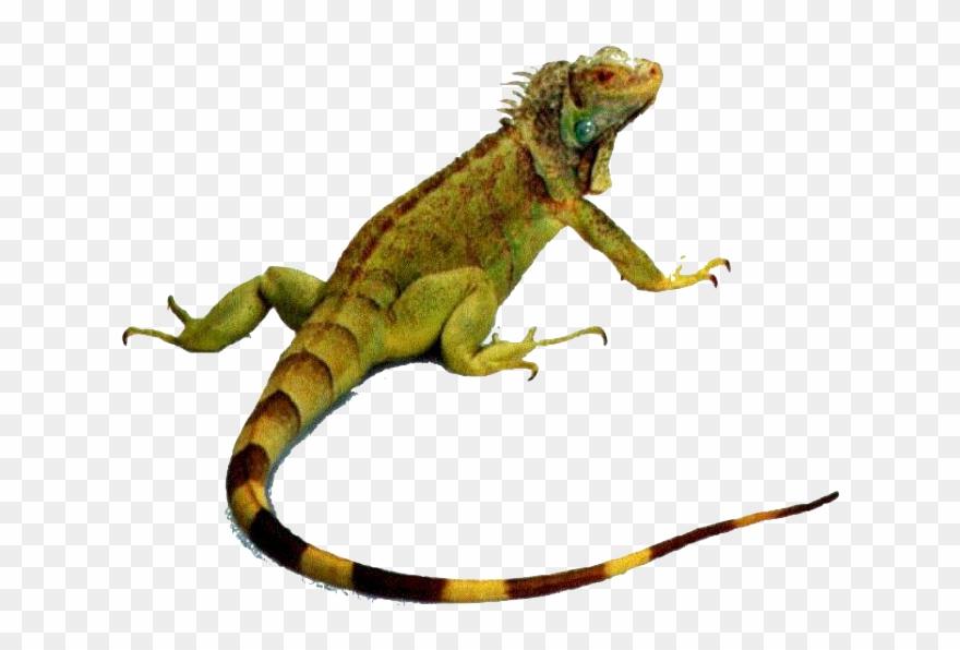 Iguana clipart rainforest animal. Iguanas animals that crawl