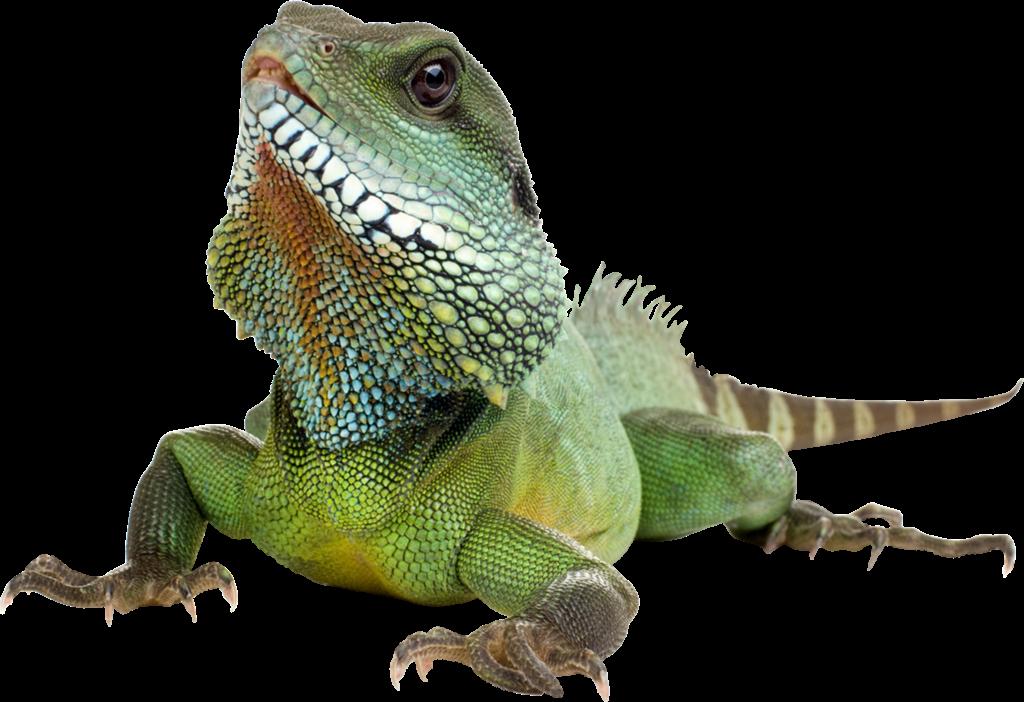 Transparent background peoplepng com. Lizard clipart iguana
