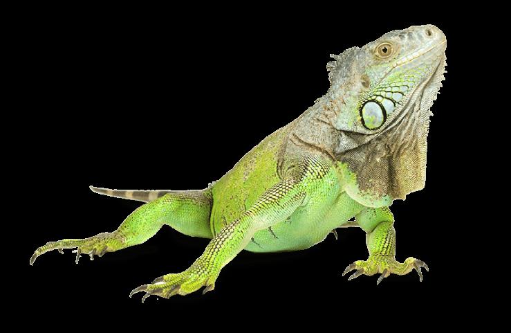 Iguana zoo