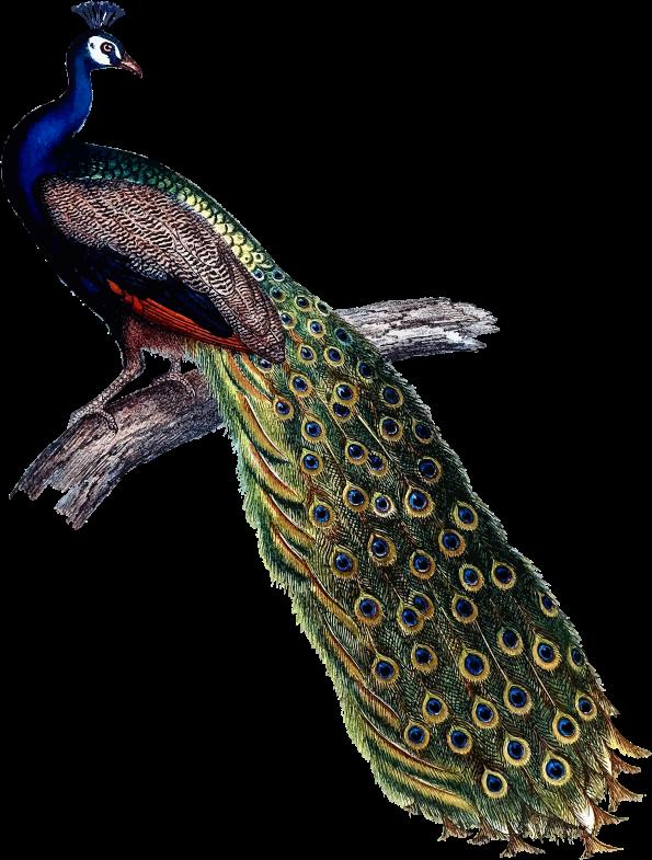 peacock clipart peacock indian