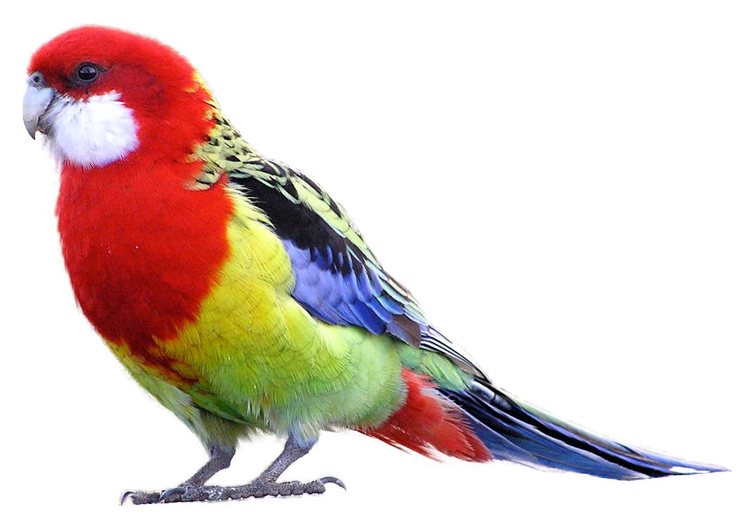 Png images and free. Parrot clipart budgie