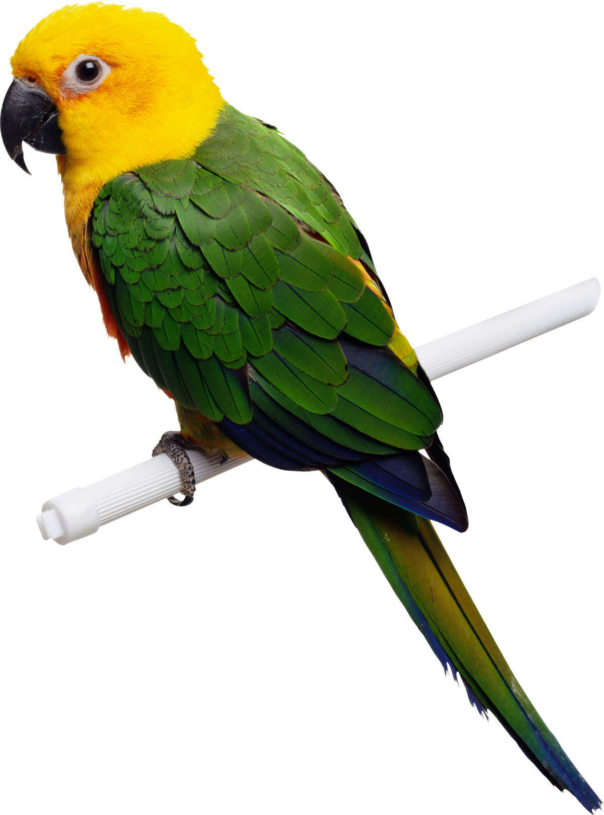 Parrot clipart sun conure. Indian png images free
