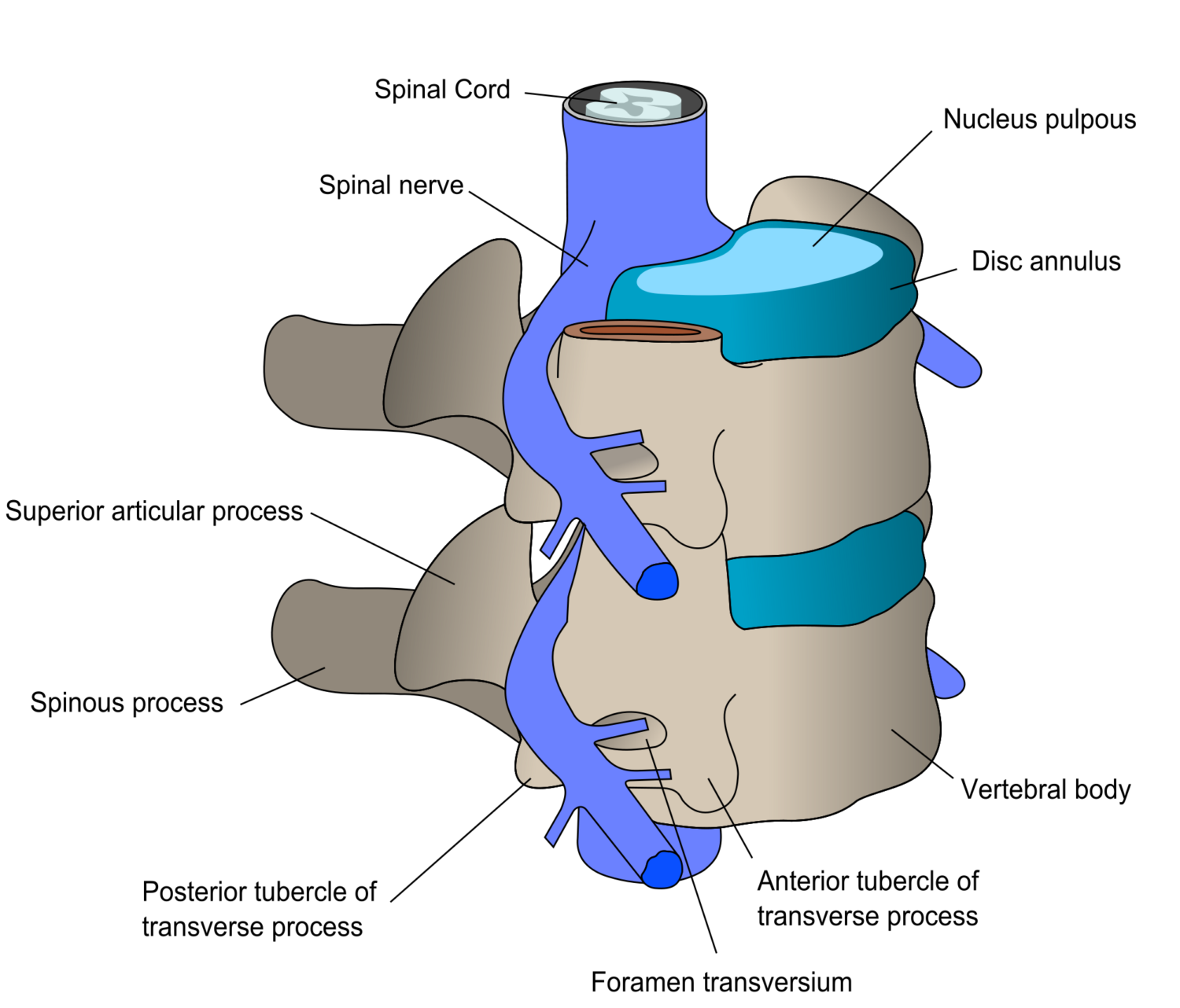 Spine clipart anterior.  things to know