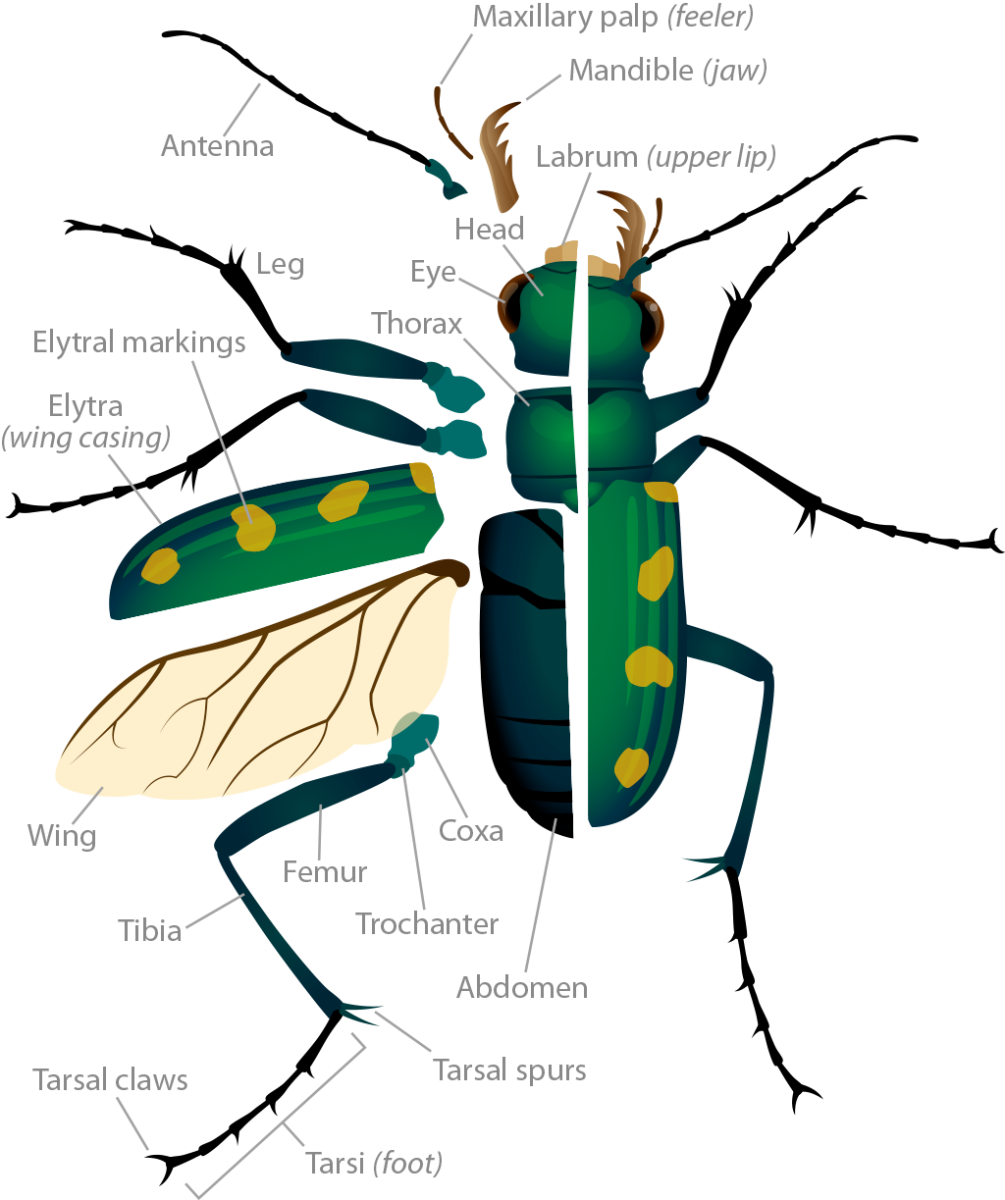 Insect clipart 3 body part 6 leg. Anatomy of insects lifeinharmony