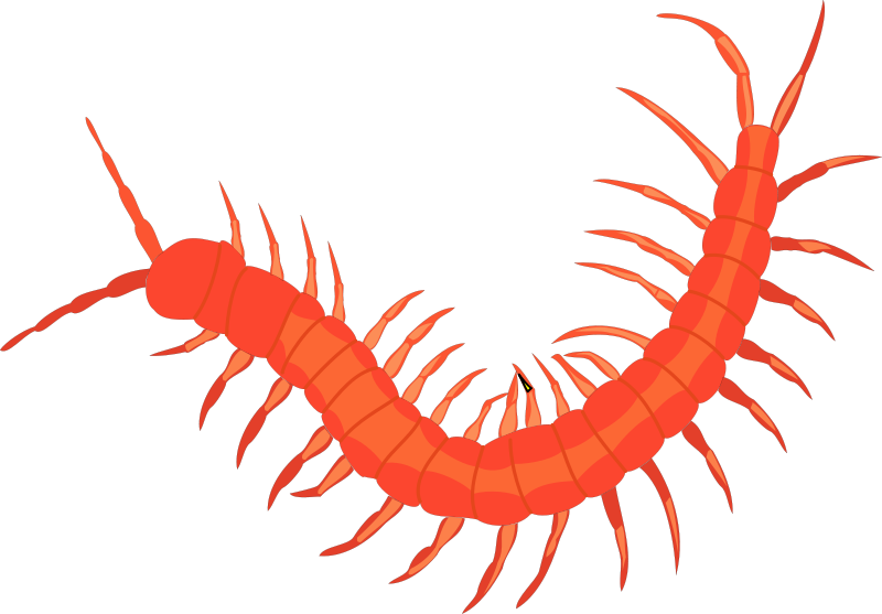Collection of free centiped. Insects clipart centipede