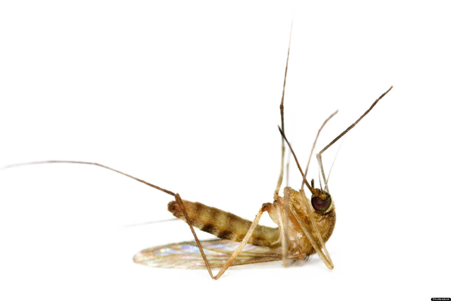 Insect clipart dead insect. Mosquito png images free