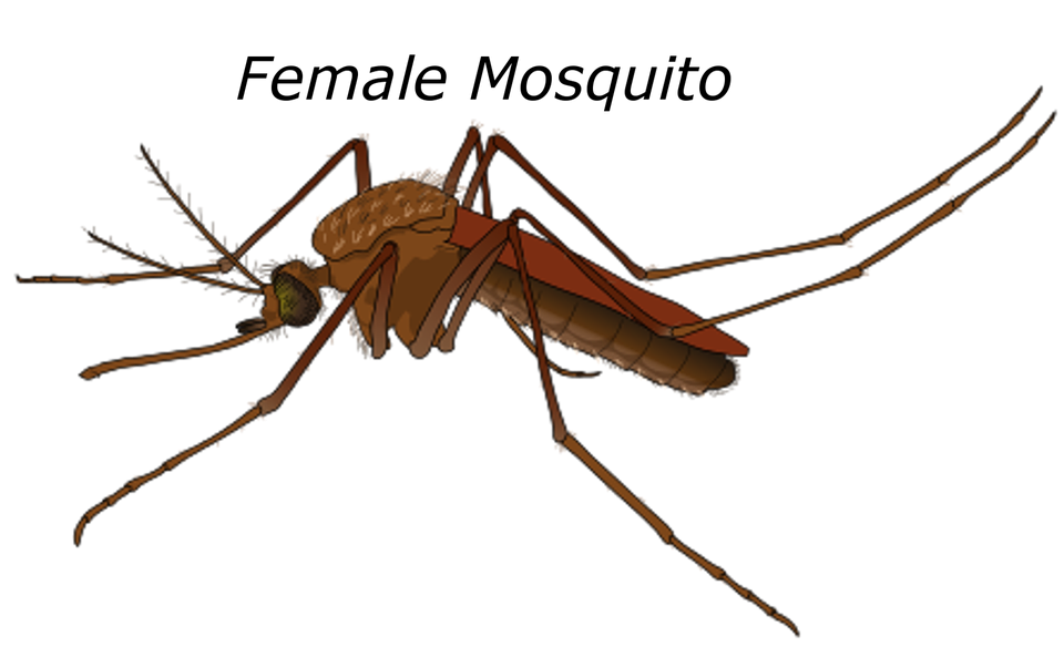 Mosquito clipart mosquito breeding. Fever fears star fm