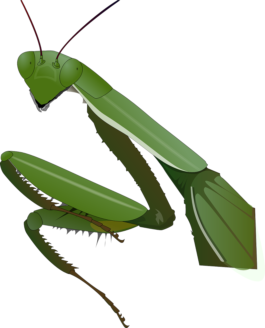 Insects clipart praying mantis. Insect nature transparent image