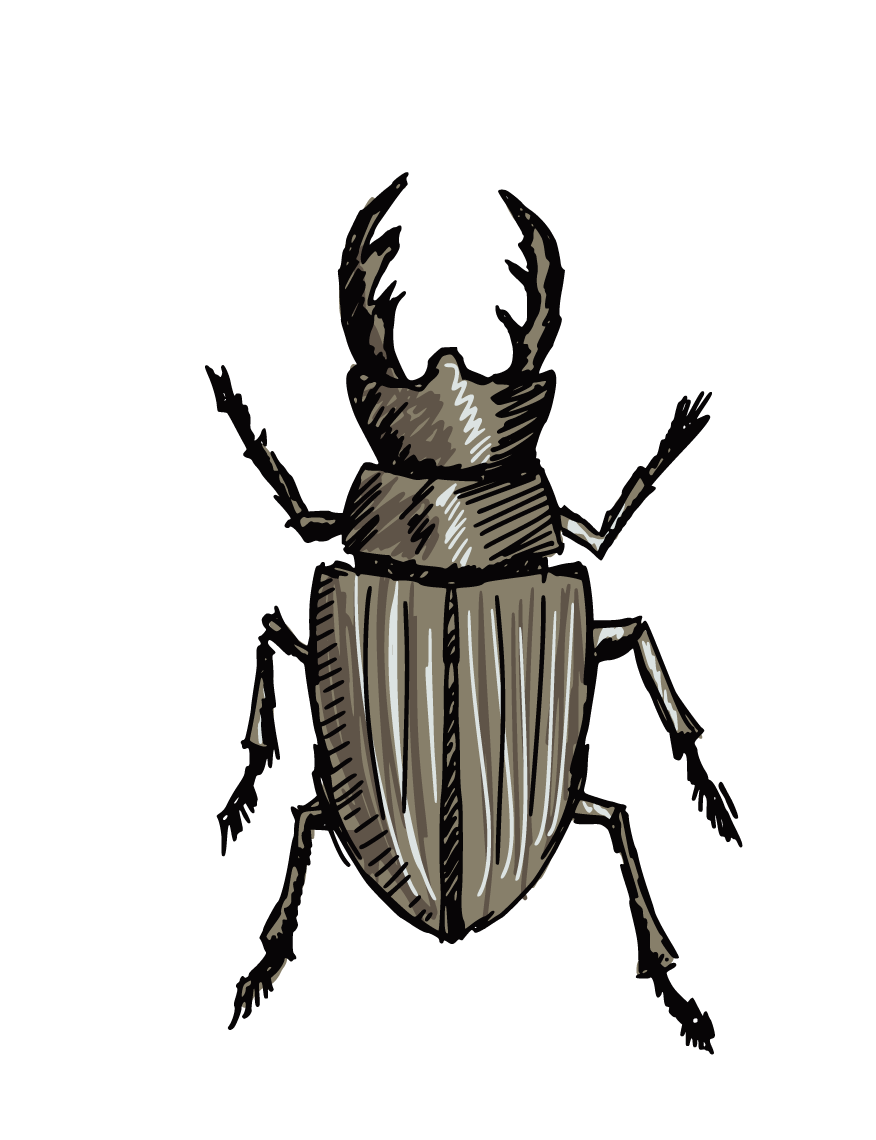 Insects clipart scarab beetle. Stag drawing clip art