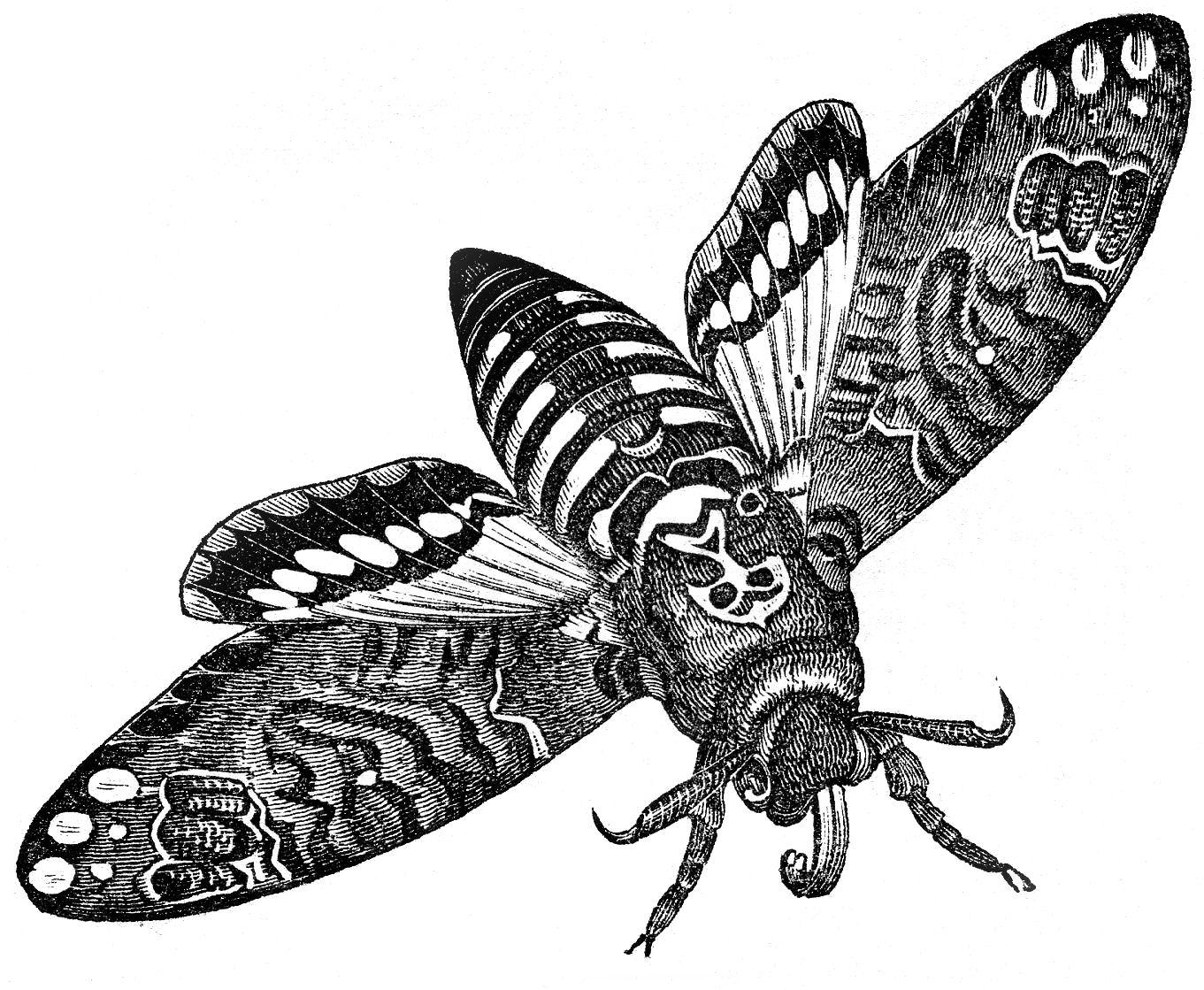 Moth clipart vintage. Clip art interesting image