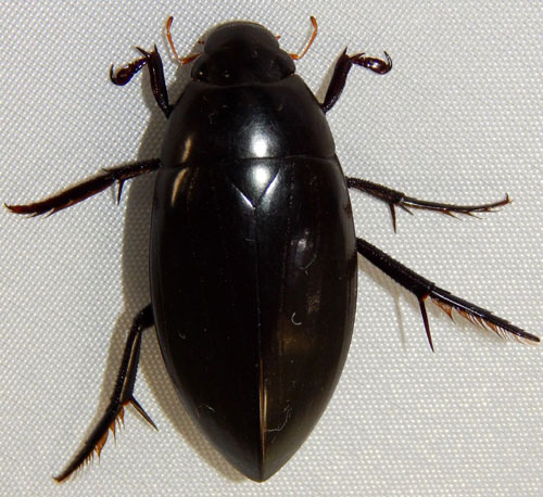 Giant scavenger . Insects clipart water beetle