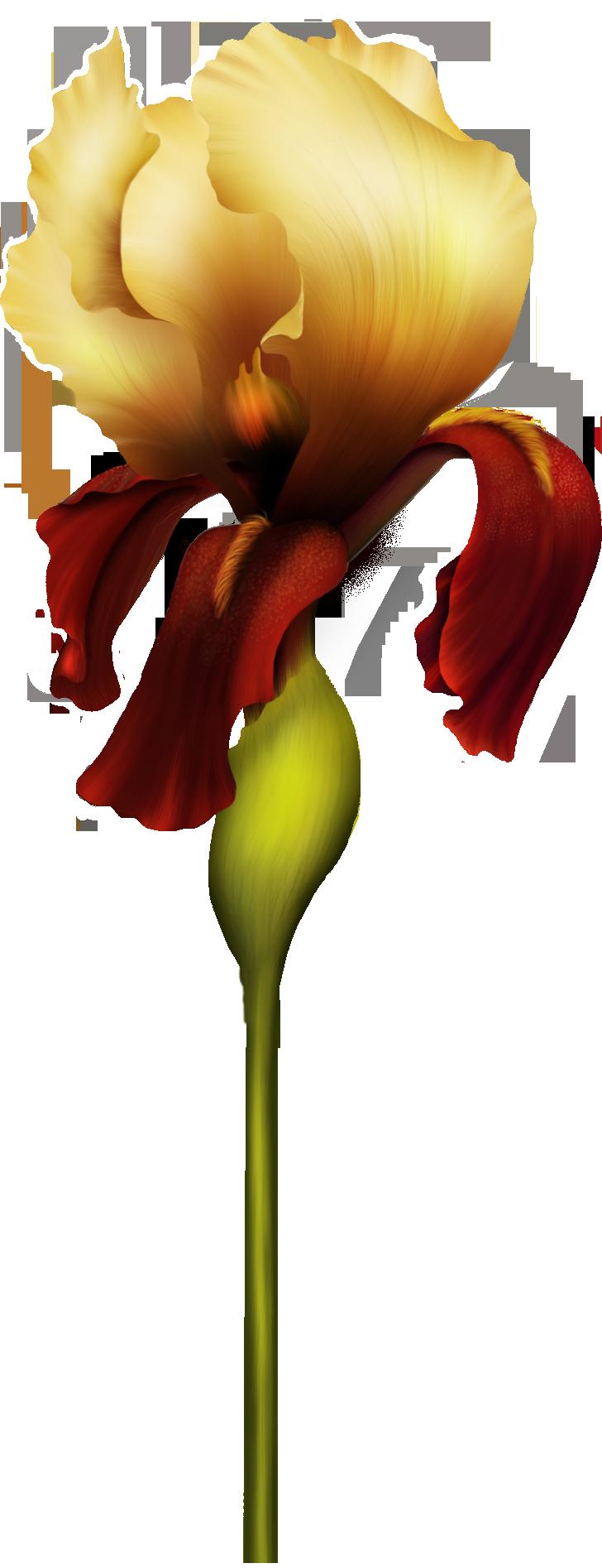 Clipart best web. Iris flower png