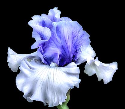 Blue k kyti ky. Iris flower png