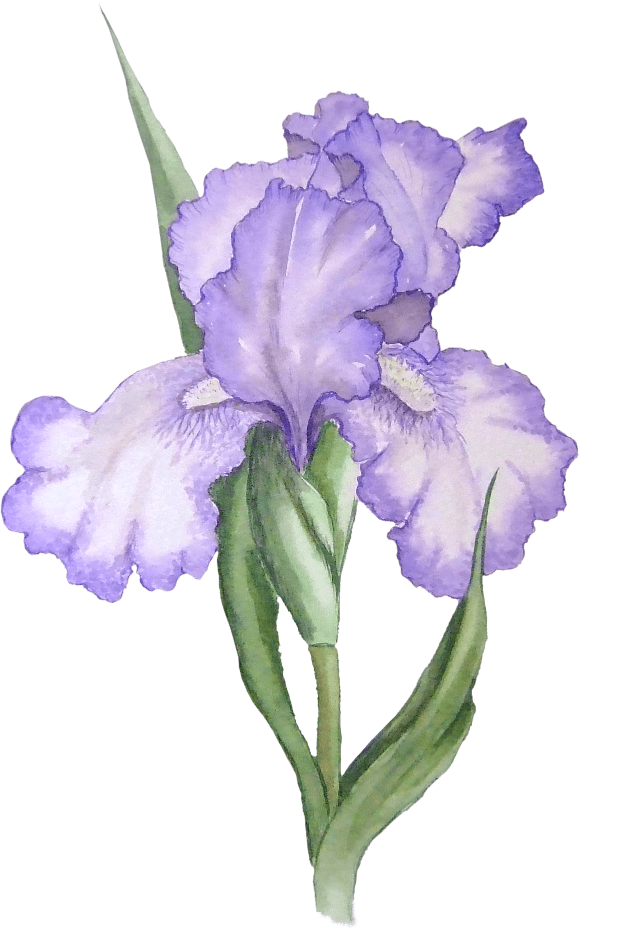 Iris flower png. Illustration transparent stickpng download