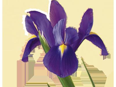 Iris flower png. Meaning symbolism teleflora