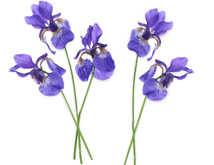 Group transparent stickpng nature. Iris flower png