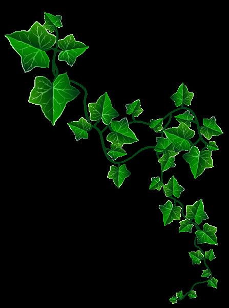 Vine decoration clipart image. Ivy border png