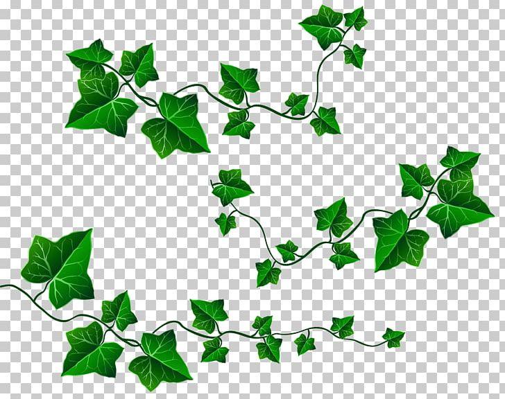 Ivy clipart. Common grape vine leaf